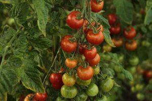 hydroponic fruits